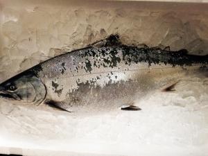 4kgアップのサクラマス! お腹の厚さがハンパ無しです。  これから二三一に届けられます!  #二三一 #海鮮 #酒蔵
